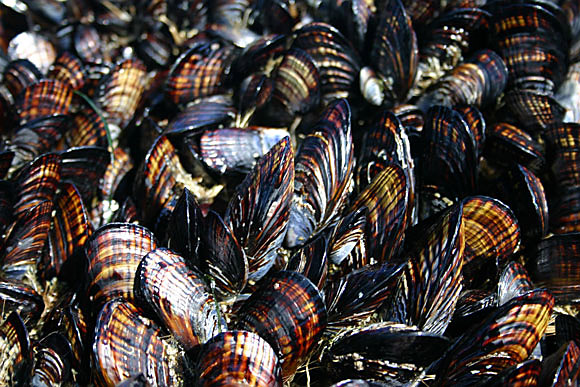 californiamussels