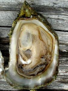 olympiaoyster