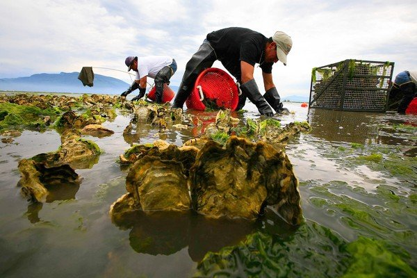 "[20080713 (Bulldog/A18) -- PROBLEMS AHEAD: During low tide, workers Jorge Palma, left, and Ricardo Gonzalez Bernal harvest oysters in Samish Bay. Because of the bacterial outbreak, future crops will not be as large. -- PHOTOGRAPHER: Photographs by Liz O. Baylen  Los Angeles Times Photographs by 20080713 (LA/A22) -- GRIM OUTLOOK: During low tide, workers Jorge Palma, left, and Ricardo Gonzalez Bernal harvest oysters in Samish Bay. Because of the bacterial outbreak, future crops will not be as large. -- PHOTOGRAPHER: Photographs by Liz O. Baylen  Los Angeles Times Photographs by] *** [During low tide, (left) Jorge Palma, 40, and Ricardo Gonzalez Bernal, 22, of Taylor Shellfish Farms, harvest oysters in Samish Bay in Washington on June 21, 2008. Bill Dewey, a manager at Taylor Shellfish Farms, said: ""We don't have seed to replant these crops you see today."" ( Liz O. Baylen / Los Angeles Times )]"